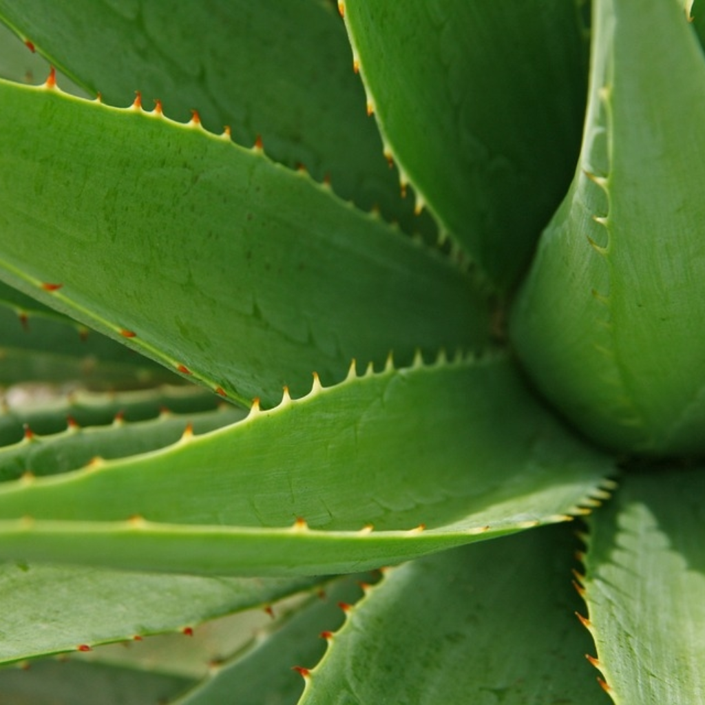 Aloe Vera | The Organic Choice